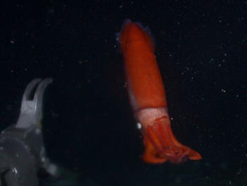 В кипятке живет кальмар соответствующего цвета. Словно бы вареный