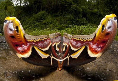 Бабочка Атлас в оборонительной позе
