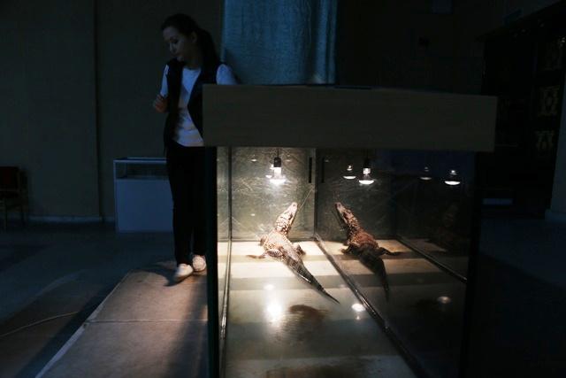 Пока Гена, вместе с другими ползучими гадами, временно обитает в историко-художественном музее, где работает «экспонатом» выставки.