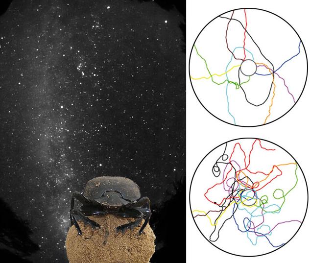Жуки, от которых закрывали Млечный путь, петляли по манежу (траектории внизу), а которые видели звезды, быстро прикатывали навозные шарики к краю манежа (траектории вверху)