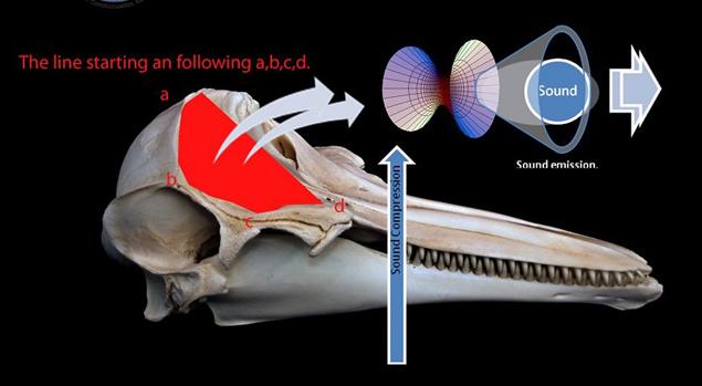 Для разговоров у дельфинов приспособлена целая вещательная система. Кстати, и слышат они не ушами, а антенной в нижней части челюсти