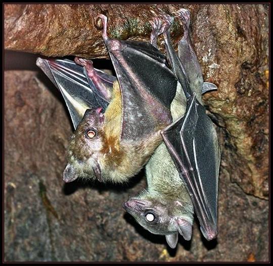 Летучие мыши занимаются сексом вниз головой. Поза соответствует человеческой