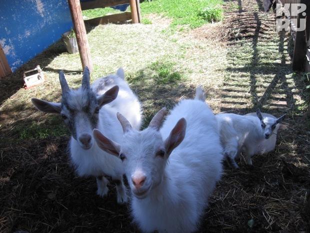 Городские жители теперь разводят коз