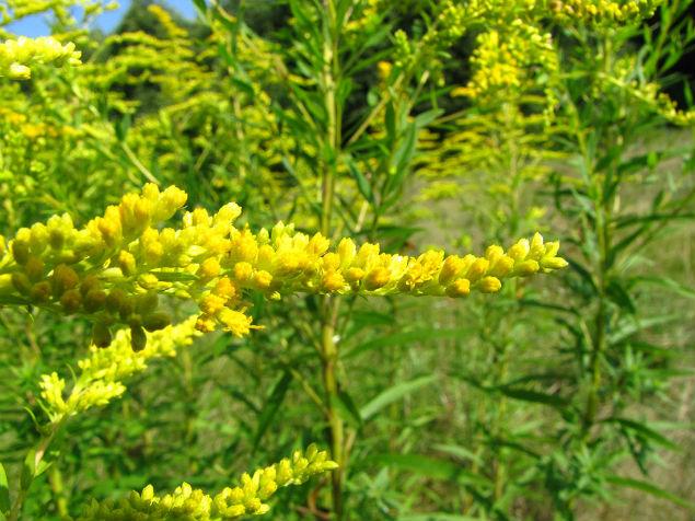 Отличительная особенность золотарника - мелкие желтые цветки, в корзинках, похожих на шарики