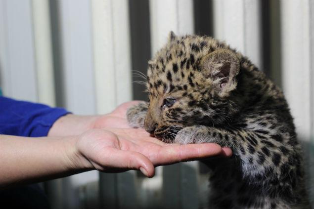 Маленький леопард тянется к человеку