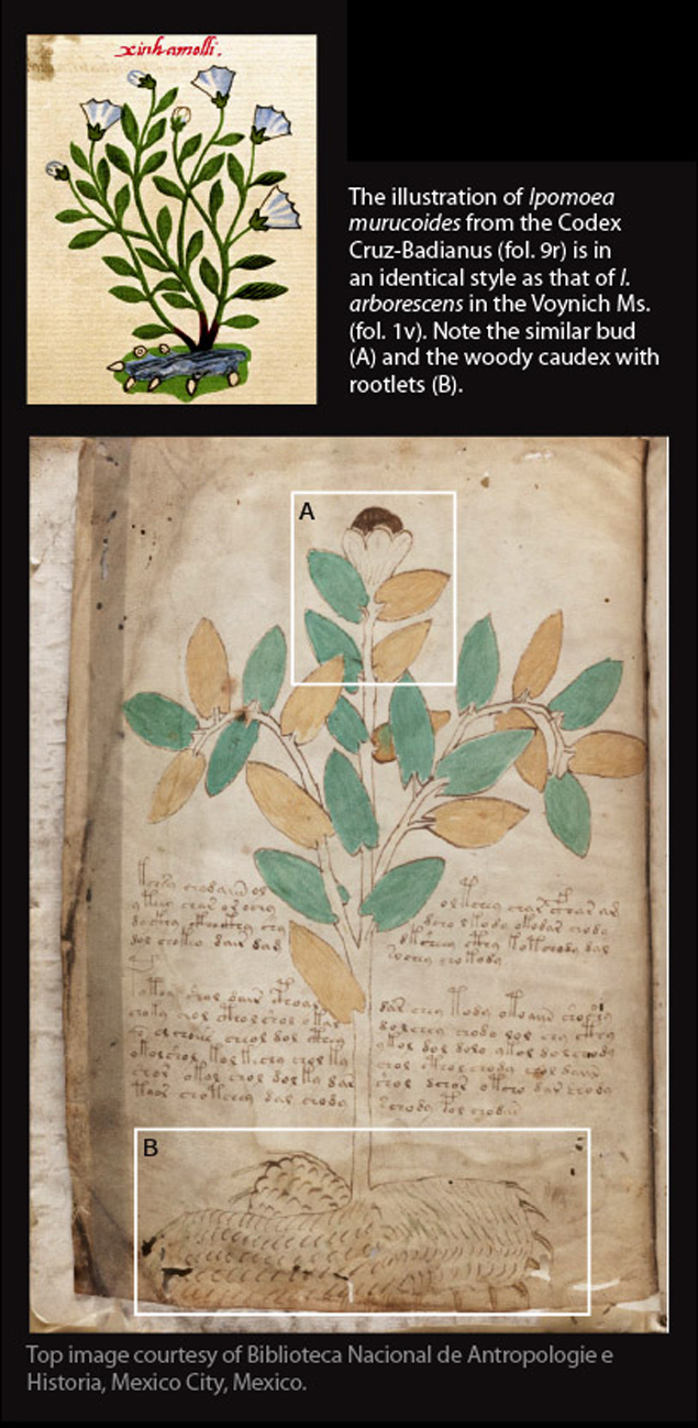И вьюнок узнали, увидев похожее изображение в другом манускрипте