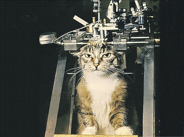 Так у кота меряют активность головного мозга. Боли  он не испытывает. Полосатые работают в лаборатории лет 5 - 6, а потом их раздают в добрые руки. Избранные любимцы доживают свой век на даче самого физиолога.