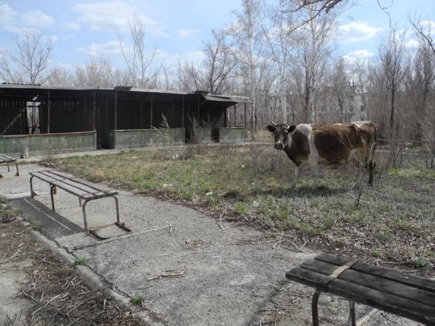 Запустение. Коровы ходят по пустому городу…