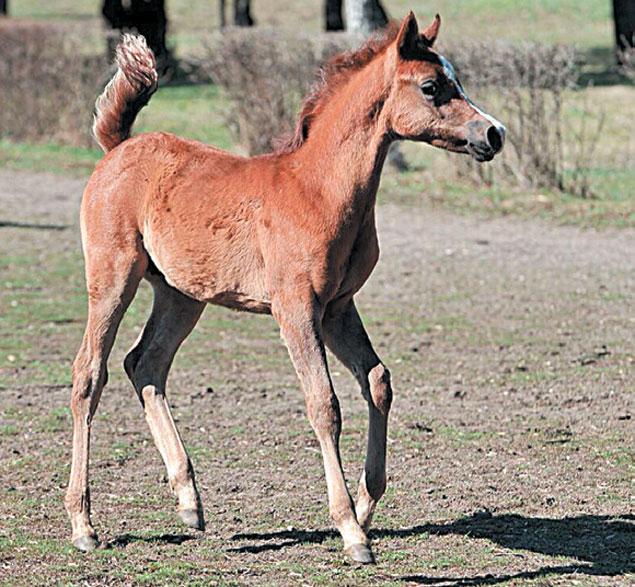 Жеребенок 2014 года рождения по кличке Аполлон, потомок Асуана - самой знаменитой арабской лошади в мире.