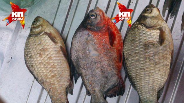 Пиранья определенно отличается от типичных обитателей местных водоемов.