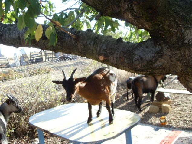 Соседские козы запросто бегали по чужому двору