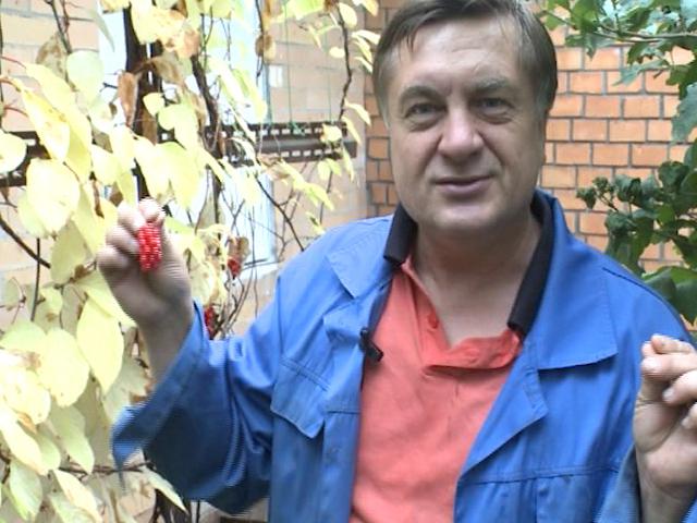 Моя чудесная дача с Андреем Тумановым: груша и лимонник
