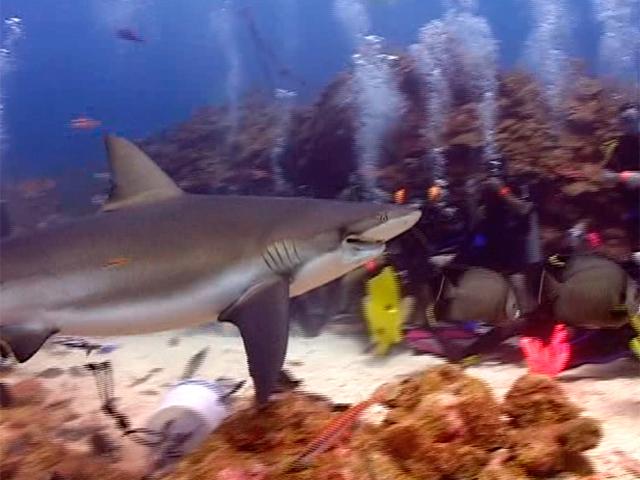Денис Дудинский плавал среди акул в Центральной Америке