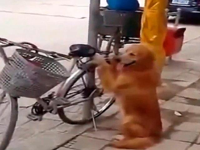 Пес охраняет велосипед. Смотрим, что произойдет, когда придет хозяин