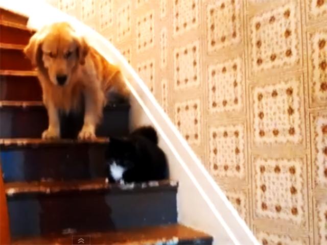 Ретривер панически боится пройти мимо котенка, отдыхающего на лестнице