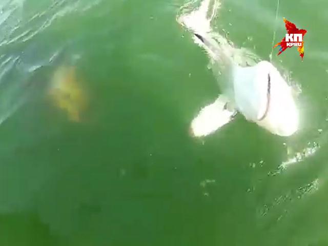Гигантский окунь проглотил акулу с первой попытки