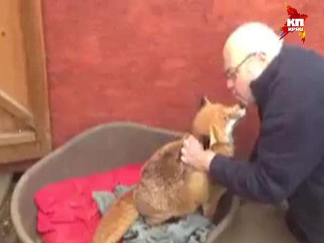 В Англии приютили дикого лиса, думая, что это брошенный щенок