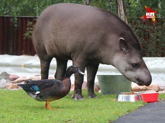 Лучшие друзья: утка и тапир в нижегородском зоопарке не отходят друг от друга