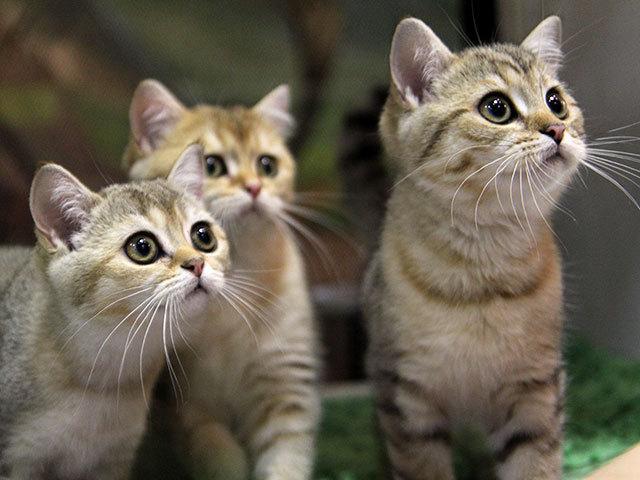 Кошачье шоу на выставке в Иркутске