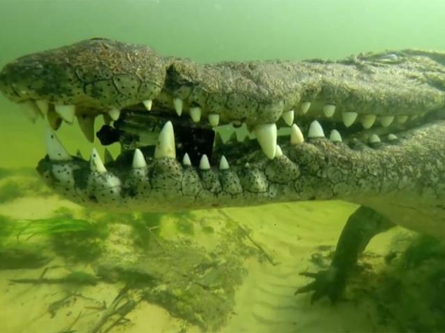 Крокодил стащил камеру у дайвера