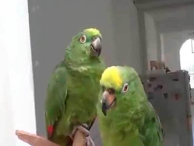 Дуэт этих попугаев взорвал интернет!
