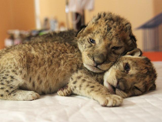 Двое львят родились в иркутской зоогалерее