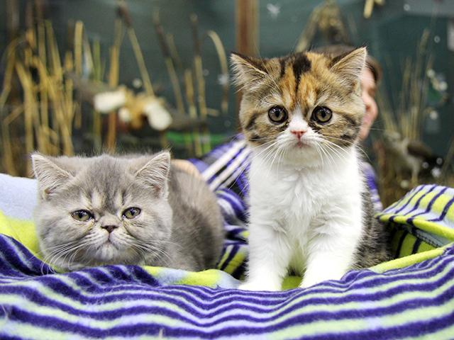 Выставка породистых котят