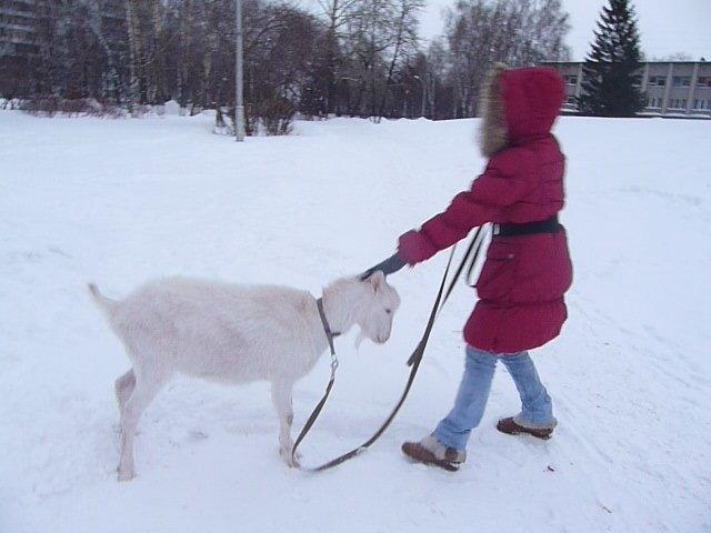 В центре Новокузнецка выгуливают козликов