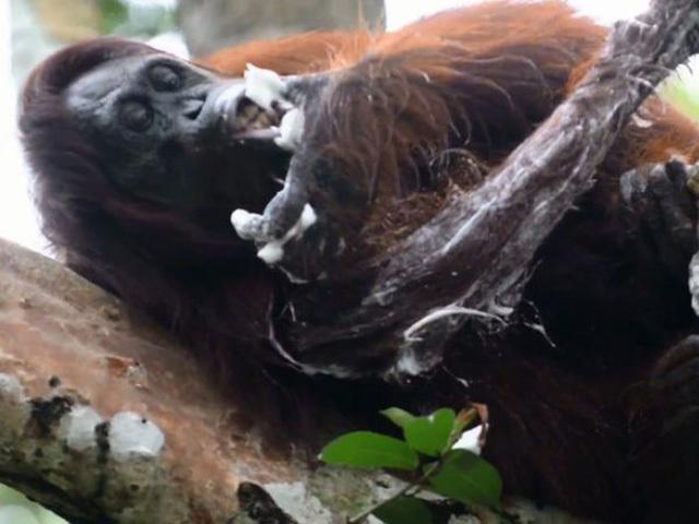 Новая звезда YouTube: Моющийся с мылом орангутанг покорил интернет