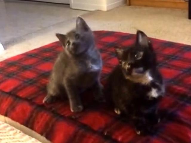 Котята танцуют под «Turn Down for What»