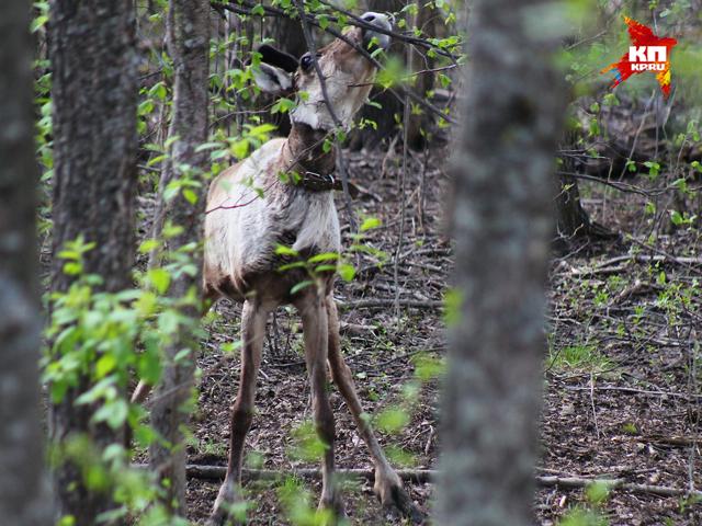 Жизнь северных оленей в Керженском заповеднике