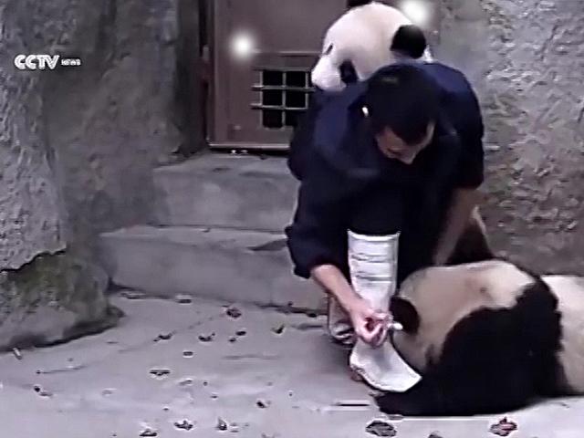 Как в зоопарке пытались пандам дать лекарство! Очень трогательно!