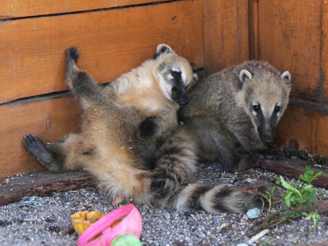 Носухи поселились в контактном зоопарке в Иркутске