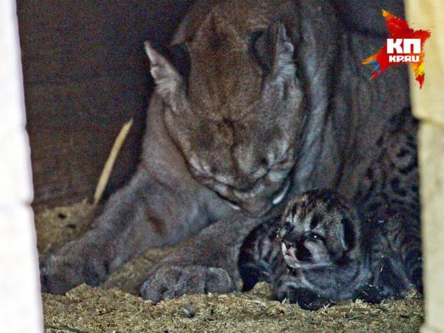 У семейства канадских пум в Барнаульском зоопарке появилось потомство