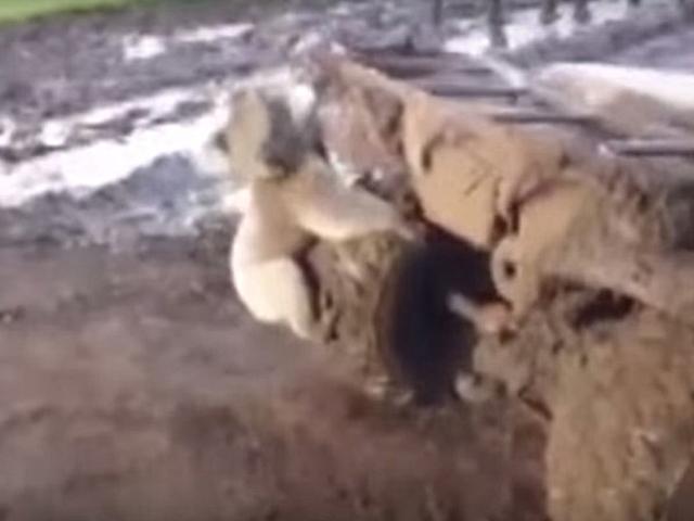 Видео погони коалы за квадроциклом взорвало интернет