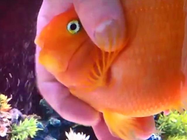 Эта аквариумная рыбка ждет хозяина, как преданная собака