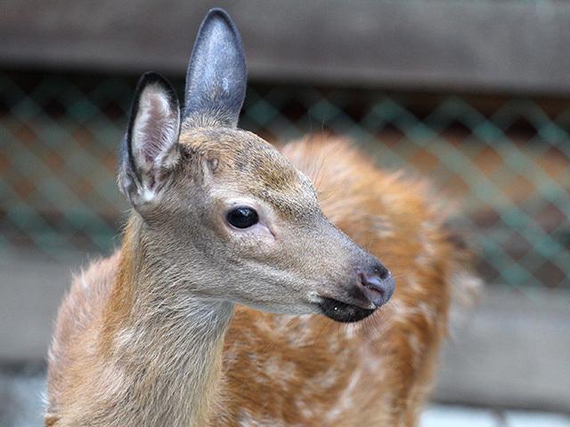 В иркутский контактный зоопарк привезли двух оленят