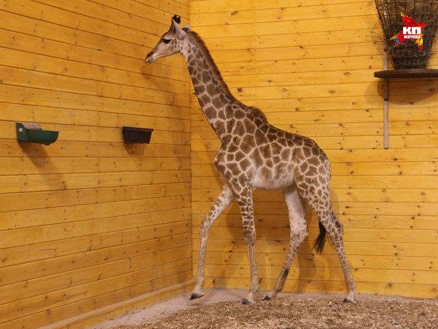 Жираф стал новым жителем нижегородского зоопарка