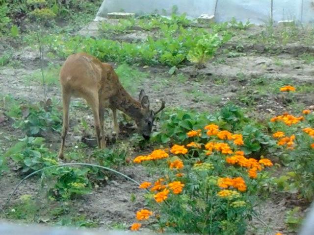 Дикая косуля гуляла по садовому участку в Нижнем Новгороде