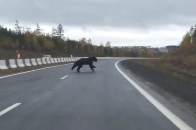 Медведь выбежал на федеральную трассу перед автомобилями в Иркутской области
