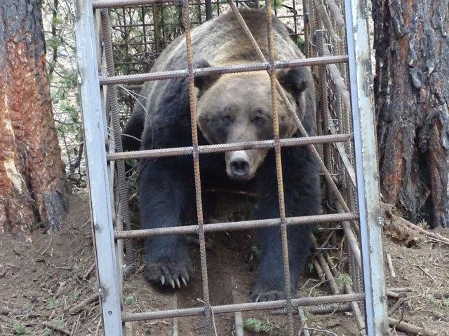 Медведя, пойманного на Ольхоне, выпустили на волю сотрудники национального парка
