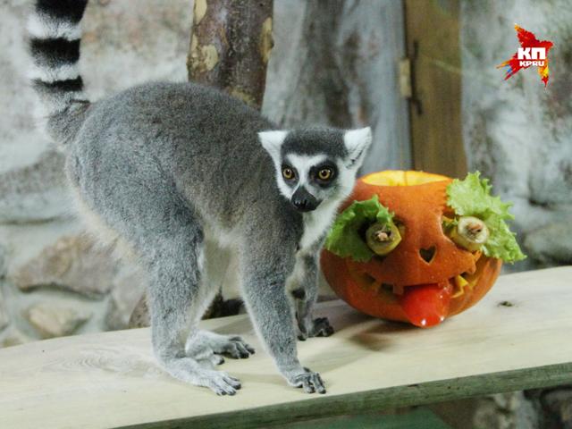 Выдры, обезьяны и утки отмечают Хэллоуин в нижегородском зоопарке