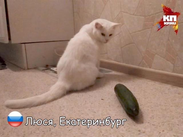 Русский кот огурца не боится